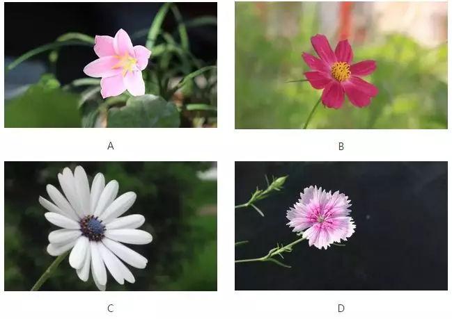 4朵花,哪朵最先凋谢? 测试你的第六感准不准?