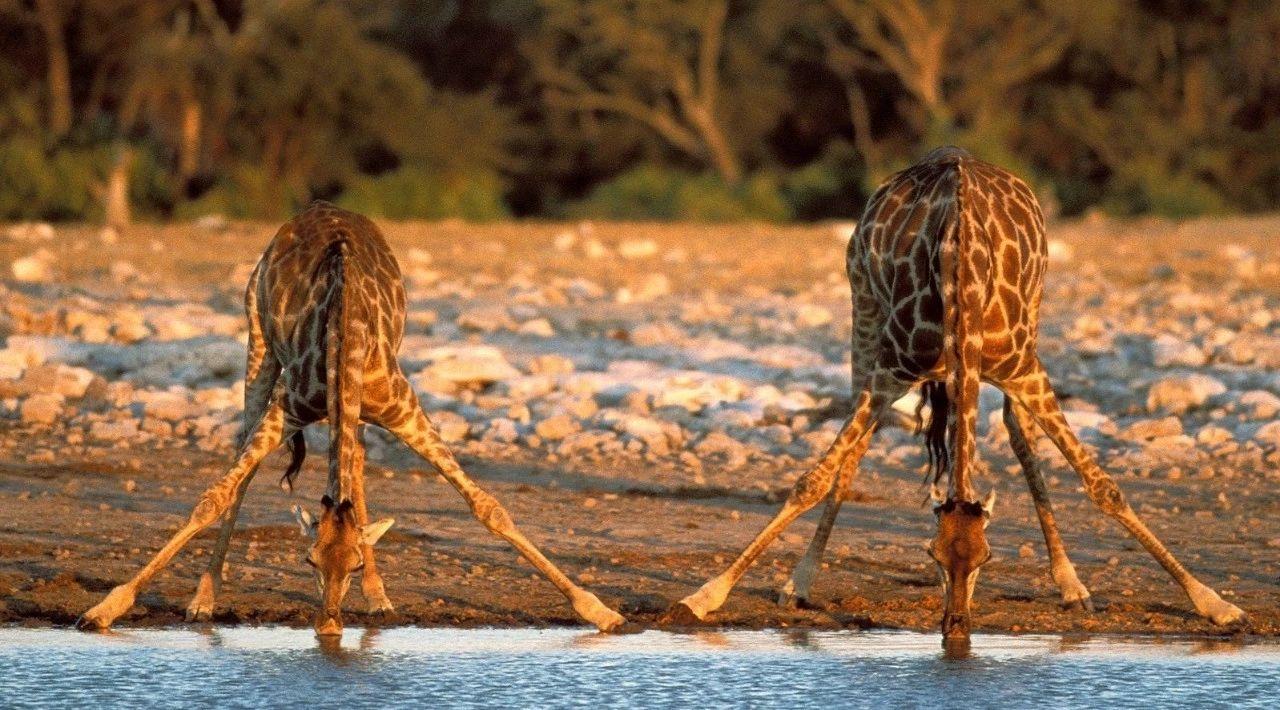 两头在喝水的长颈鹿