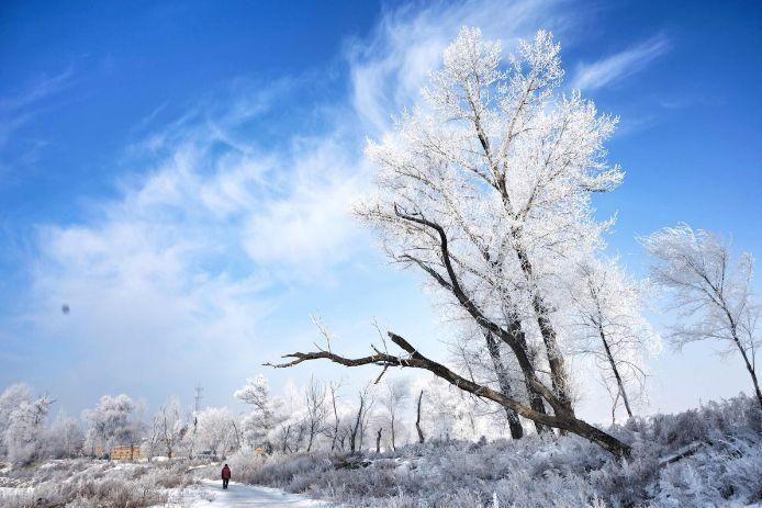 风吹拂而成_树形奇特,沿江的垂柳挂满了洁白晶莹的霜花,江风吹拂,银丝闪烁