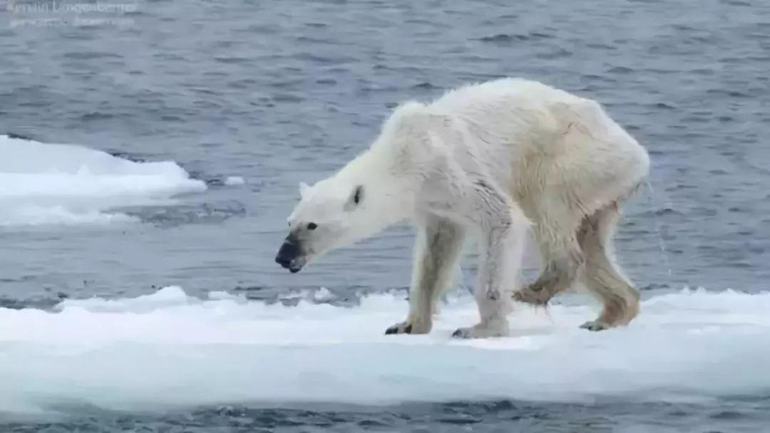 32℃可乐下的北极熊濒临不到,我不想以后只在高温罐上蜗牛找灭绝图片