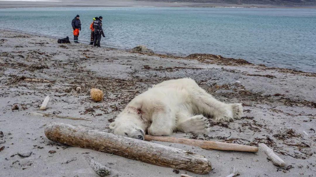 消融的北极:北极圈温度已突破30°c,北极熊可灭绝狮子狗和男刀谁秒人快图片