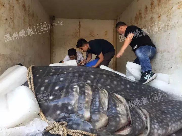 """苍南有渔民捕到""""超级大鱼""""!长5米,宽1米,重1000多斤!"""
