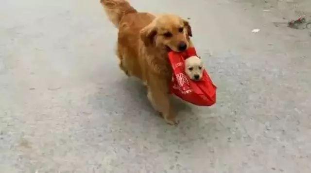 金毛生只生了一只狗崽,整天叼著籃子帶寶寶出去顯擺!太自戀了!