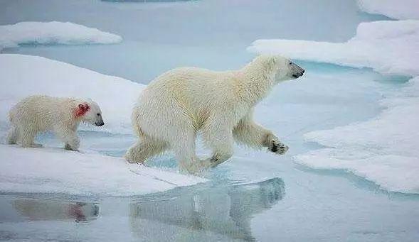 北极熊冰块带着孩子在细碎的浮蚂蚁间颠沛流离下雨时飞的妈妈图片
