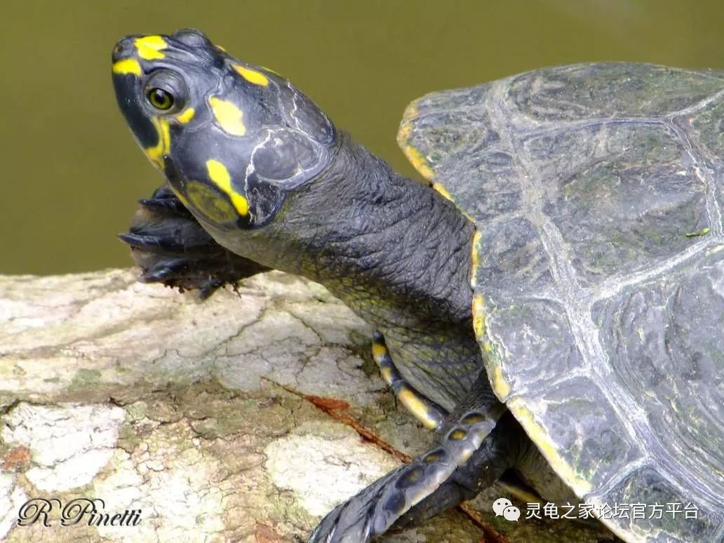 世界水龟图录资料大全 最值得收藏的乌龟饲养手册
