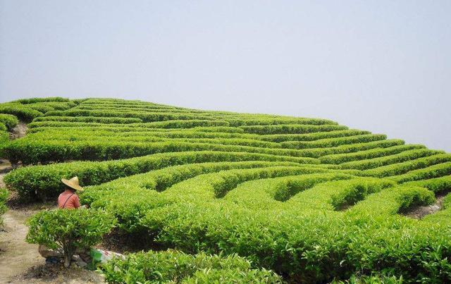 简说乌龙茶代表之一:安溪铁观音一文即可了解