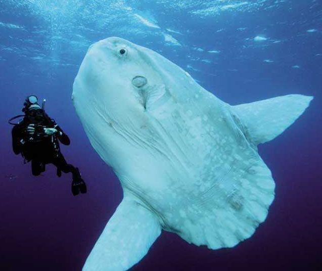 世界上最大的翻车鱼图片