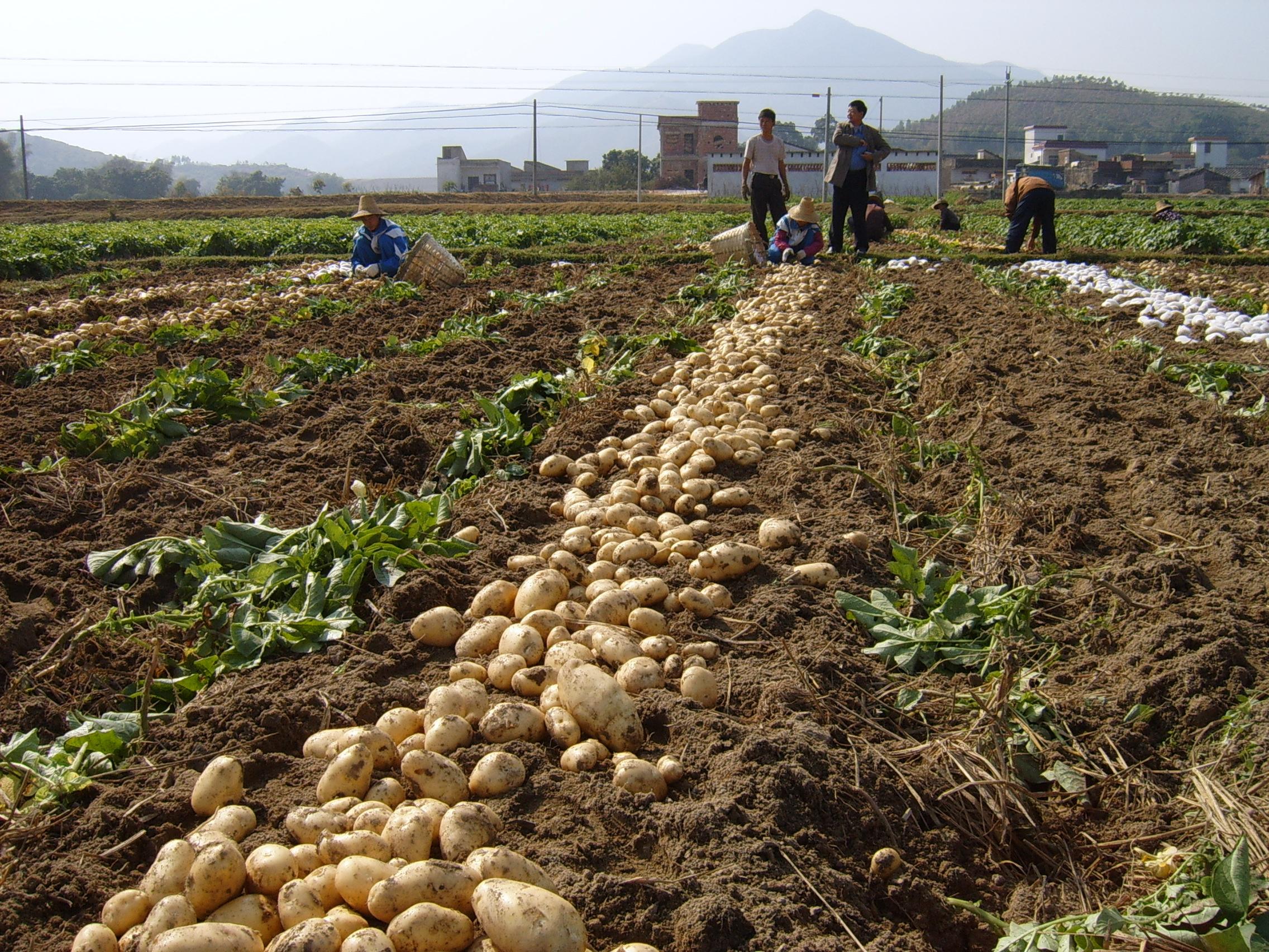 """农村和菜市场随处可见""""地下苹果"""", 美容养颜降血脂,涨知识"""
