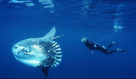 钓到巨型翻车鱼图片