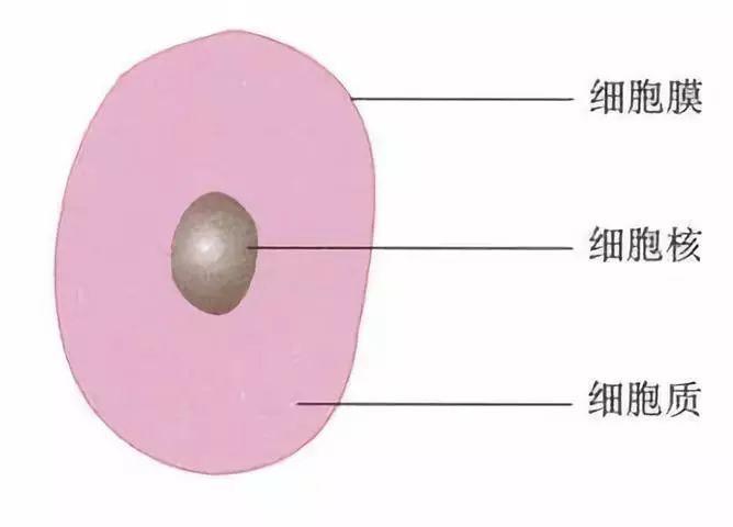 植物细胞平面图怎么画