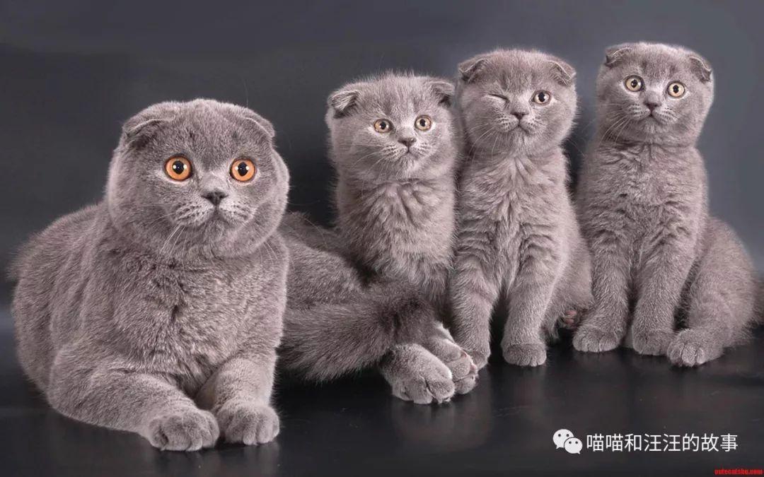 亚洲猫王和东方猫王图片
