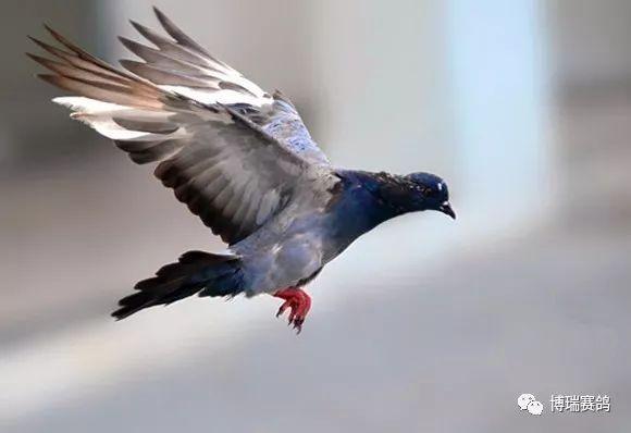 【赛鸽做法】鸽子单纯家飞经验,成长我的蜗牛要好蜜糖婴幼儿谈谈中心怎么样图片