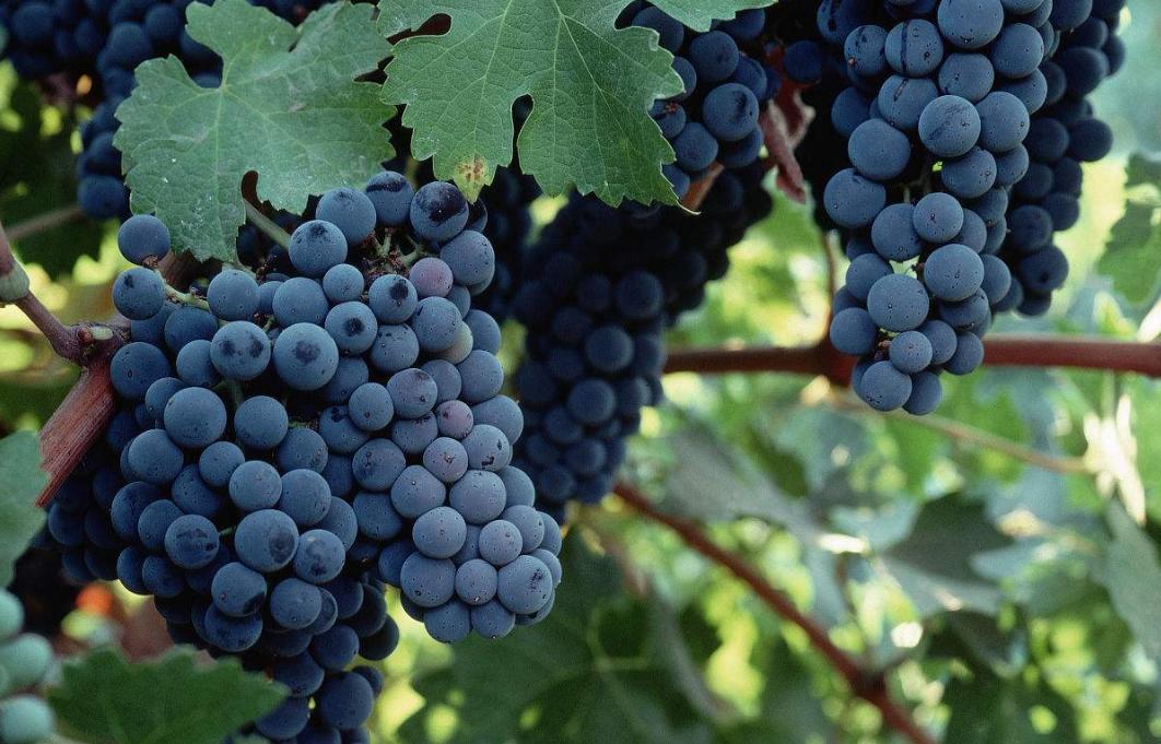 葡萄酒系列基础知识篇之葡萄品种——赤霞珠