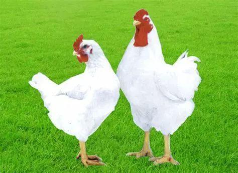 【蓉城食事】白羽肉鸡是激素催长的?实验揭秘真相