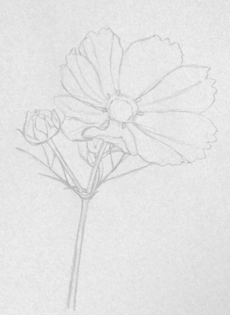 彩铅画教程 格桑花,荷花莲藕彩铅绘画详细过程,快收藏学习去吧