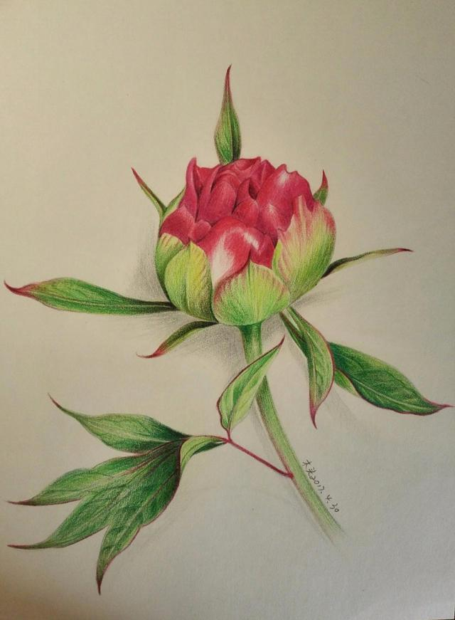 水溶性彩色铅笔特性与使用方法,芍药花彩铅画入门到精通教程图