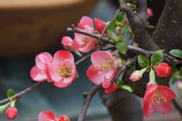 种植木瓜海棠,不但具有很好的观赏作用,还能治病