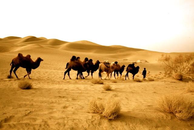 中国最好骆驼乳品牌,新疆伊犁纯正骆驼奶粉