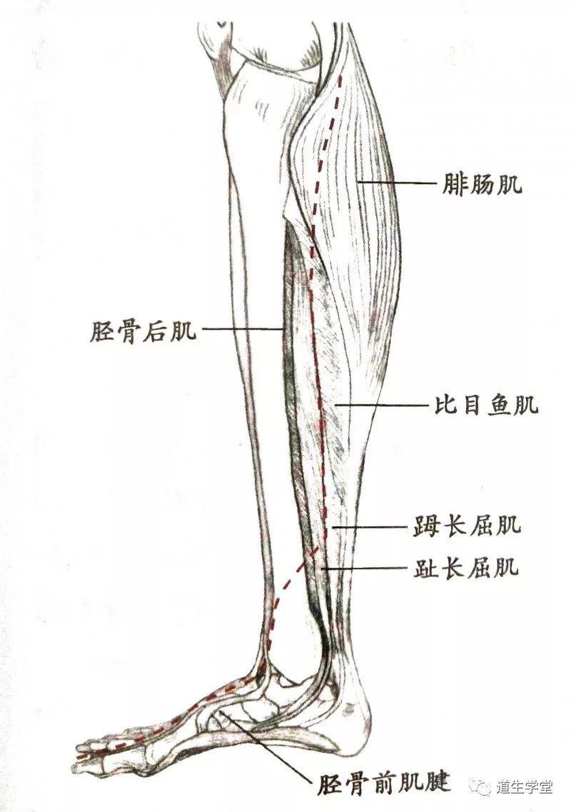 肝经的循行路线图动画