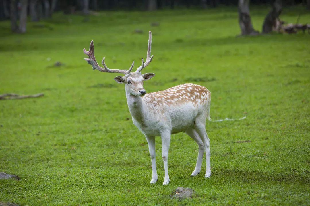 在黑龙江林间邂逅梅花鹿,醉美湿地观鹤舞