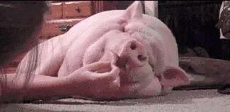 小猪吃人奶视频_为啥市场上没人卖猪奶?