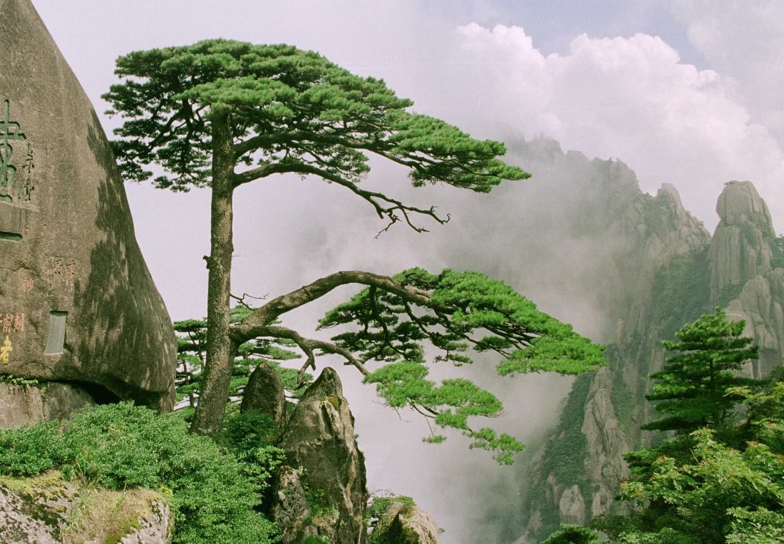 中国最宝贵的树:如今送客松已死,有人怀疑迎客松是棵假树?