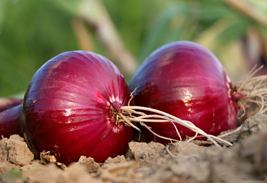 从角度洋葱的营养v角度,紫皮霉菌的糕点更好一些.营养价值计数不合格原因图片