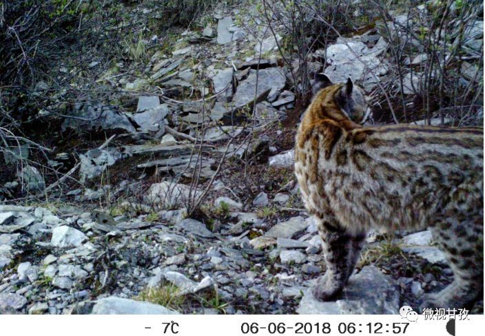 亚洲金猫_白玉县首次拍摄到珍稀动物——亚洲金猫!