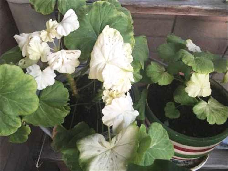天竺葵叶片有白点图片