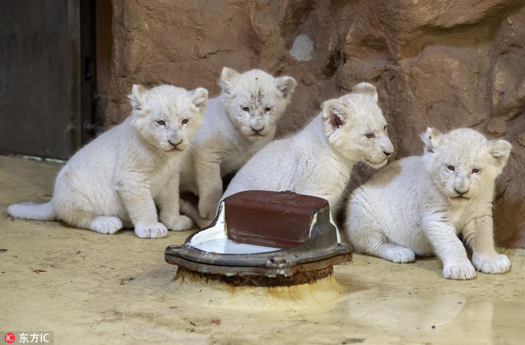 """德国动物园珍稀白狮宝宝体检接受对饲养员咆哮怒吼""""我超凶的""""老虎机爆机怎么调图片"""