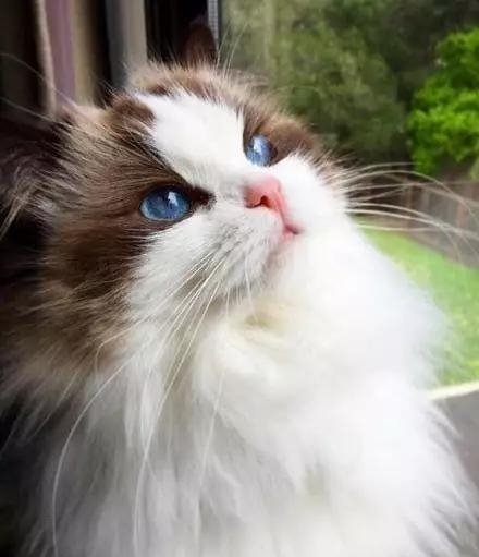布偶猫价格多少钱一只图片