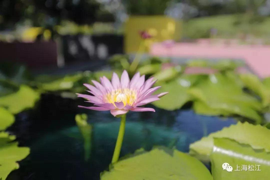上海辰山植物园睡莲展