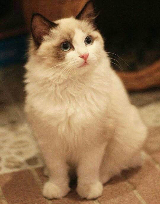 珠海布偶猫价格多少钱?一斤图片