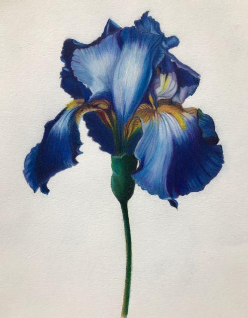 教程  蓝色鸢尾花彩铅手绘详细教程,教你画一朵优雅浪漫的鸢尾花