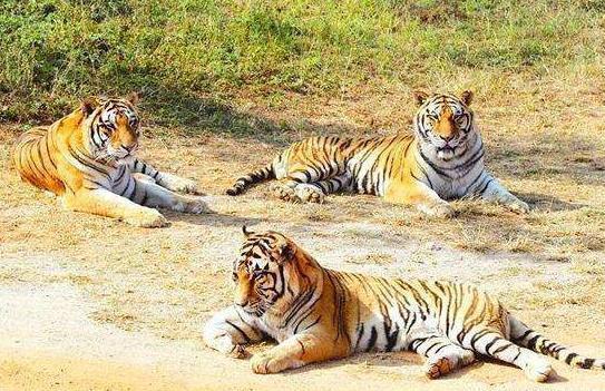 老虎错把女饲养员当雌虎, 扑倒在地, 随后发生的事让女子大哭不止