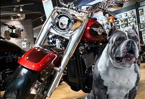 百万级美国恶霸犬品鉴图片