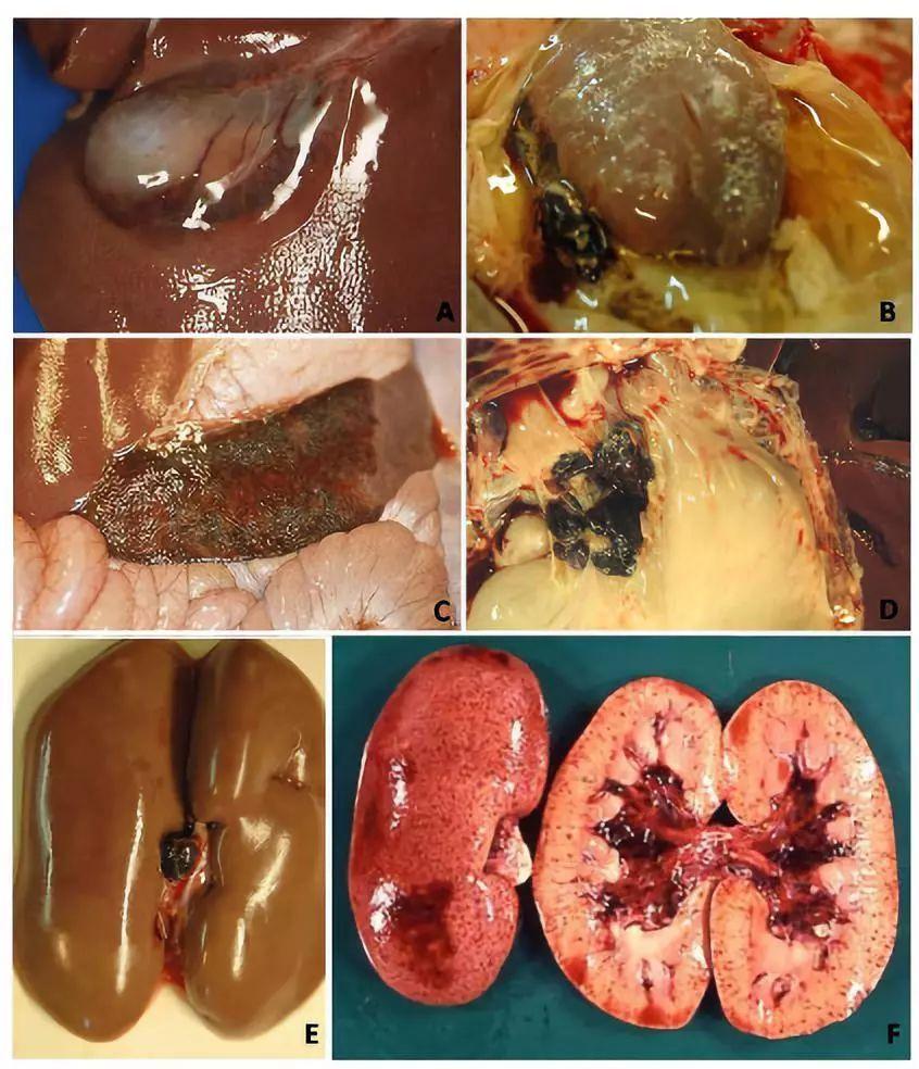 肏吃岳�zf-:`d_专题丨何启盖教授教您正确认识非洲猪瘟的临床症状和病理变化