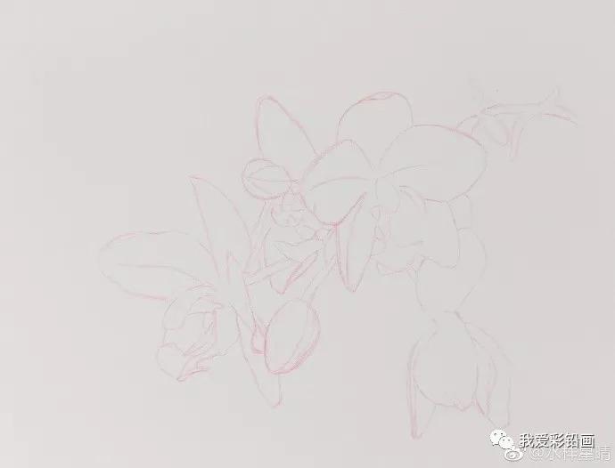 彩铅手绘——包舌兰花
