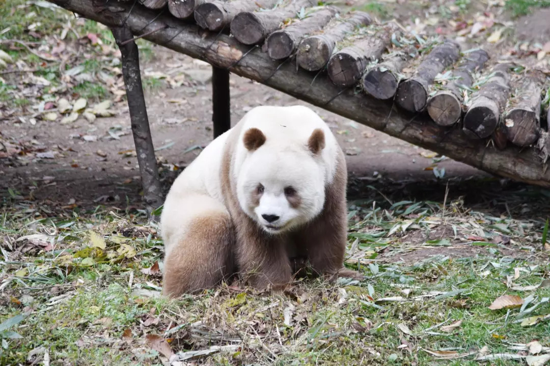 萌到犯规!大熊猫国际文化周开幕,唯一圈养棕色熊猫