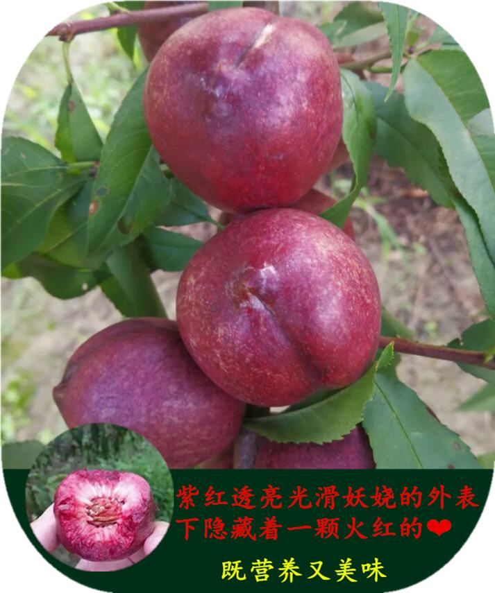 如皋紫桃树苗