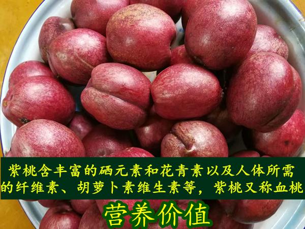 紫油桃树苗