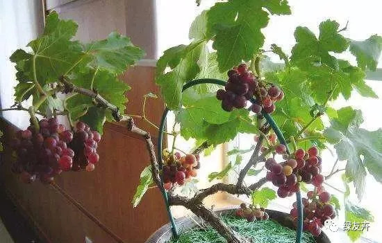 如何种植葡萄树长果快图片