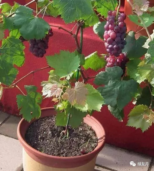 如何种植葡萄盆栽图片