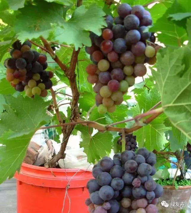如何种植葡萄树图片