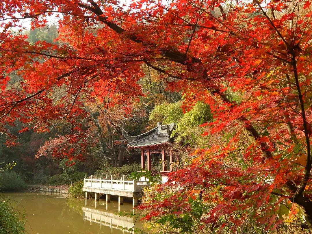 吉他《枫叶城》:天气渐凉,能快看到枫叶了吧?图片