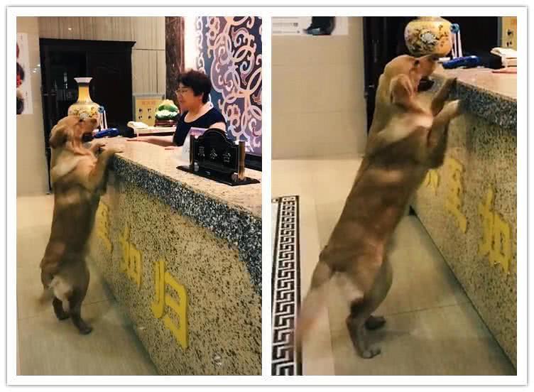 酒店惊现一只去前台拿房卡的金毛,现在的狗狗都会开房了吗?