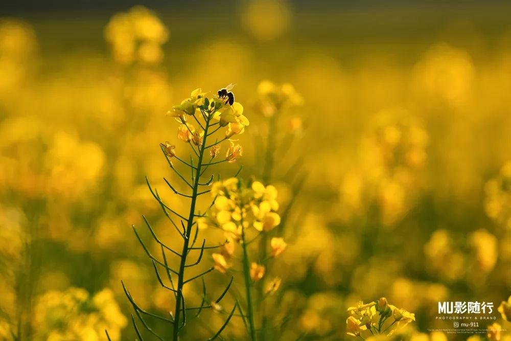 勤劳的小蜜蜂,飞舞在花丛中.图片