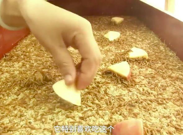 夫妻小两口创业1个月产7吨黄粉虫,年收入1300万,敢当面生吃!!厉害了