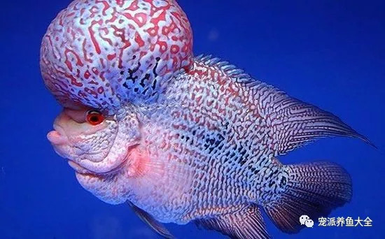 世界级极品红龙鱼身价八十八万养鱼真的很烧钱吗?