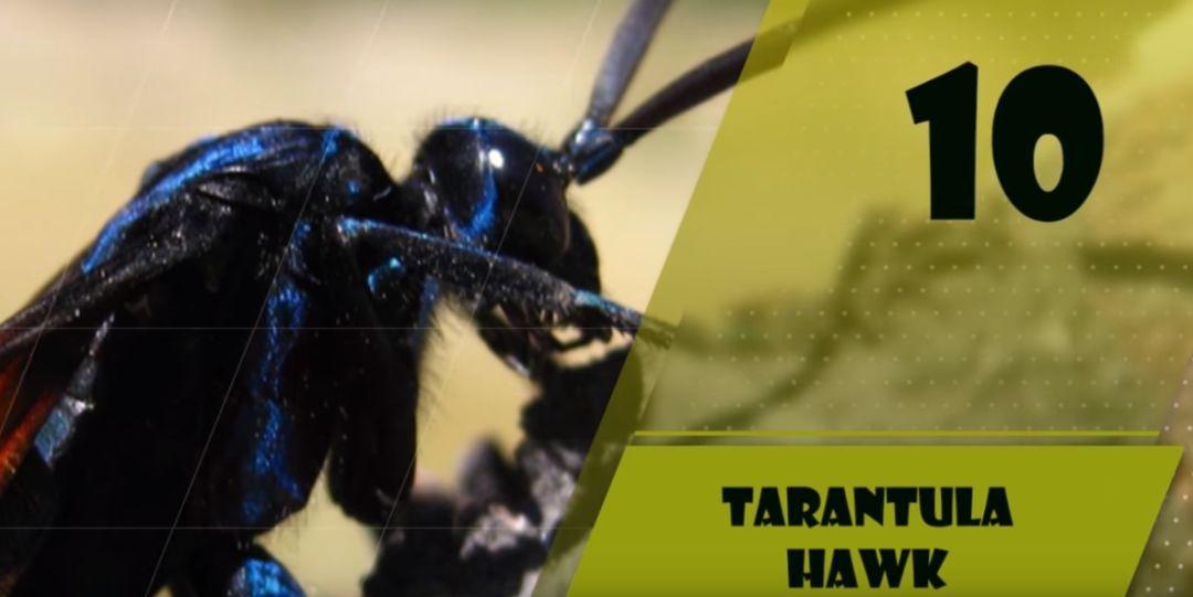 世界上十大体型最大的昆虫排行:竹节虫,竹节鞭居首